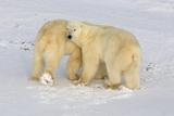 Polar Bear Love Stampa fotografica di Howard Ruby