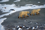 Pair of Polar Bears on Black Ice Stampa fotografica di Howard Ruby