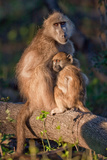 Baboon Mom and Child Photographic Print by Howard Ruby
