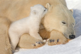 Cub Whispering to Mother Fotografisk trykk av Howard Ruby