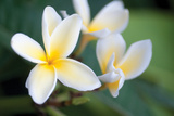 Plumeria II Reproduction photographique par Erin Berzel