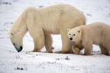 Mother Polar Bear and Yearling Photographic Print by Howard Ruby