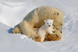 Polar Bear Mom an Cub Photographic Print by Howard Ruby