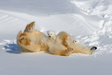 Mother and Cubs Rolling in the Snow Photographic Print by Howard Ruby