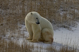 Sitting Polar Bear Stampa fotografica di Howard Ruby
