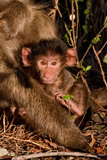 Baboon Baby Photographic Print by Howard Ruby
