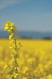 Canola Close-Up Photographic Print by Erin Berzel