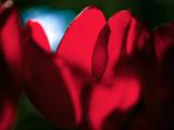 Crimson Petals Stampa fotografica di Howard Ruby