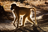Back Lit Baboon Photographic Print by Howard Ruby