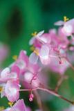 Delicate Begonia II Fotografisk tryk af Erin Berzel