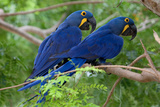 Two Hyacinth Macaws Photographic Print by Howard Ruby