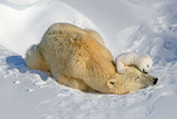 Tender Moment with Mother and Cub Reproduction photographique par Howard Ruby