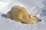 Tender Moment with Mother and Cub Fotografisk trykk av Howard Ruby