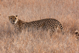 Cheetah III Photographic Print by Howard Ruby