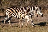 Burchell's Zebra Photographic Print by Howard Ruby