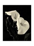 Botanical Elegance Calla IV Premium Giclee Print by Amy Melious