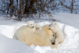 Mothers and Cubs in Nursing Den Photographic Print by Howard Ruby