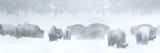Bisons in Blizzard Fotografisk tryk af Howard Ruby