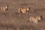 Cheetahs Walking Stampa fotografica di Howard Ruby
