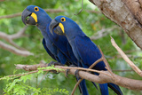 The Two Hyacinth Macaw Photographic Print by Howard Ruby