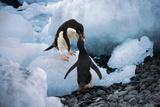 Hungery Adelie Penguins Stampa fotografica di Howard Ruby