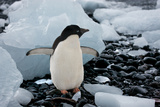 Adelie Penguin with Ice Stampa fotografica di Howard Ruby