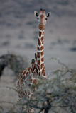 Reticulated Giraffe Stampa fotografica di Howard Ruby