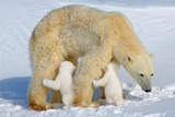 Suckling Polar Bear Cubs Photographic Print by Howard Ruby
