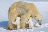 Suckling Polar Bear Cubs Photographic Print by Howard Ruby