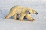 Polar Bears in Unison Stampa fotografica di Howard Ruby