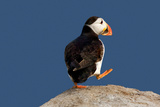 Waddling Puffin Photographic Print by Howard Ruby
