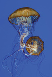 Jellyfish II Photographic Print by Erin Berzel