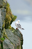 Icelandic Seagull Photographic Print by Howard Ruby