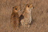 Cheetah Pair Photographic Print by Howard Ruby