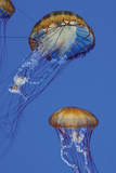 Jellyfish I Photographic Print by Erin Berzel