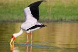 Yellow-Billed Stork Reprodukcja zdjęcia autor Howard Ruby