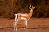 Gazelle Photographic Print by Howard Ruby