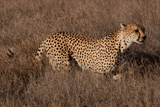 Cheetah I Photographic Print by Howard Ruby