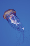 Jellyfish IV Photographic Print by Erin Berzel
