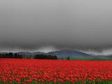 Campo di tulipani Stampa fotografica di Howard Ruby