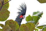 Palm Cockatoo in a Tree Photographic Print by Howard Ruby