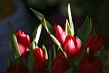 Miniature Tulips Stampa fotografica di Howard Ruby