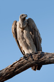 African White-Backed Vulture Papier Photo par Howard Ruby