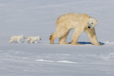 Polar Bear Mother Walking with Her Cubs II Photographic Print by Howard Ruby
