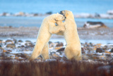 Polar Bear Brawl Stampa fotografica di Howard Ruby