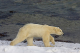 Polar Bear on the Coast Stampa fotografica di Howard Ruby