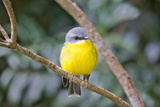 Eastern Yellow Robin, Australia Photographie par Howard Ruby
