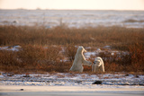 Polar Bear Dual I Photographic Print by Howard Ruby