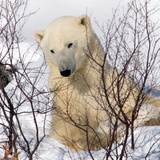 Polar Bear in the Sticks Photographic Print by Howard Ruby