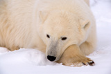 Contemplative Polar Bear Stampa fotografica di Howard Ruby